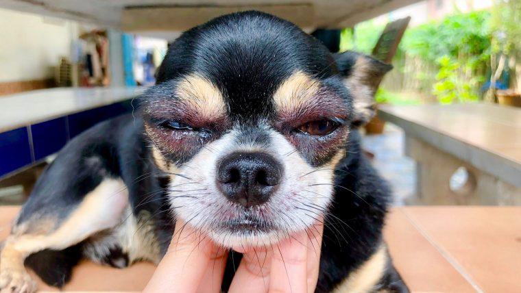 【犬のワクチンの副作用】震えや顔が腫れるなどたくさんある