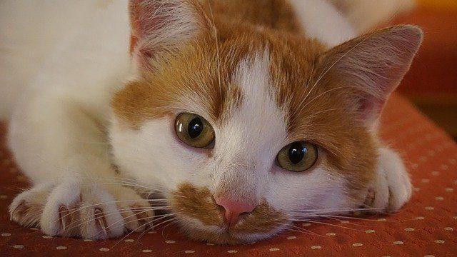 猫の爪から血が出た!止める方法は圧迫止血
