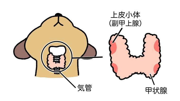 犬の甲状腺の位置