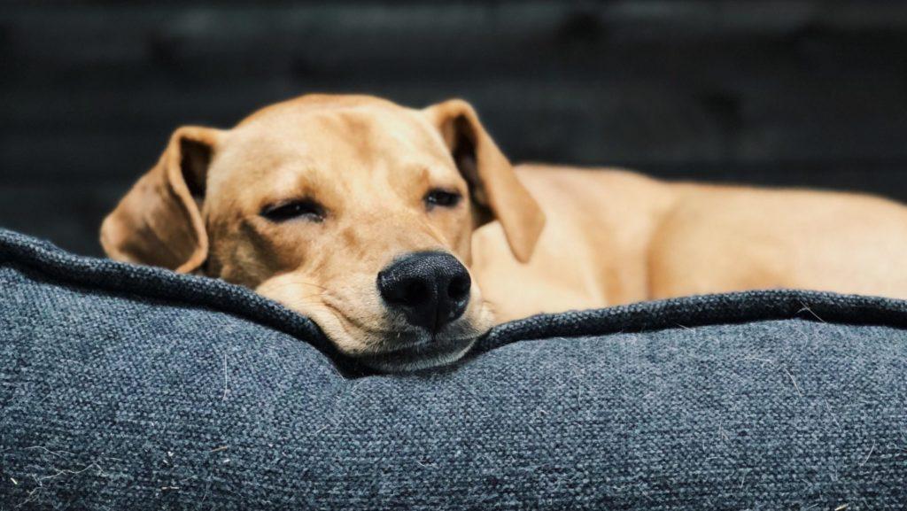 お腹がキュルキュルなって寝ている犬