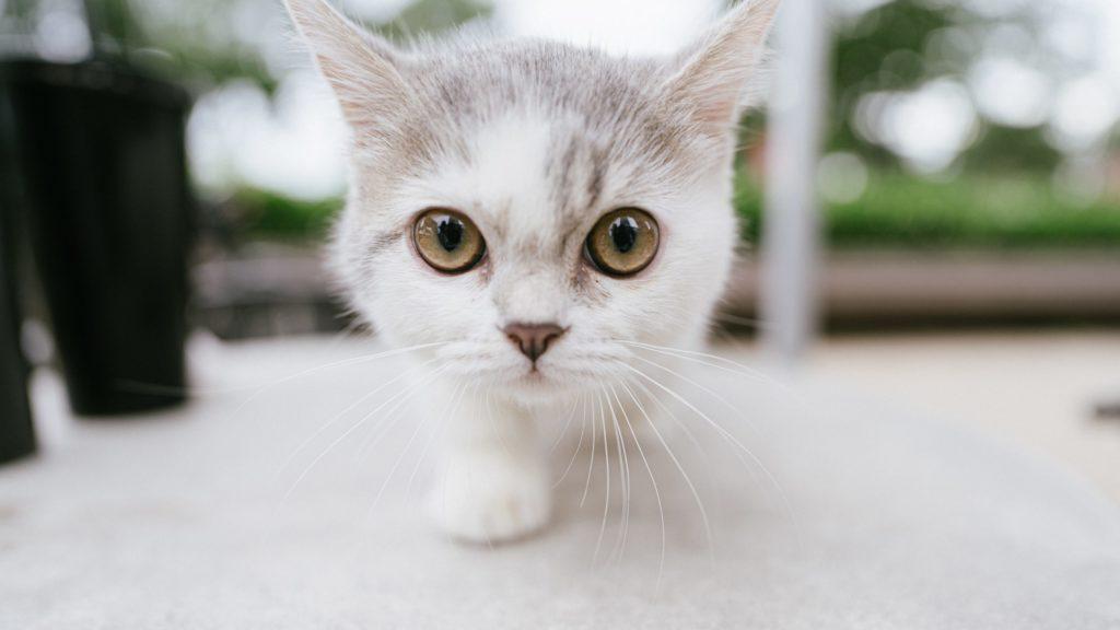 避妊手術の時期の猫