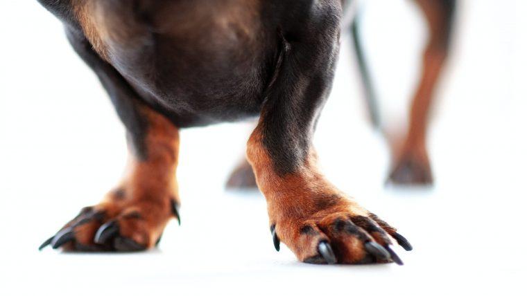 【犬の爪から血が出た!】止める方法は圧迫止血