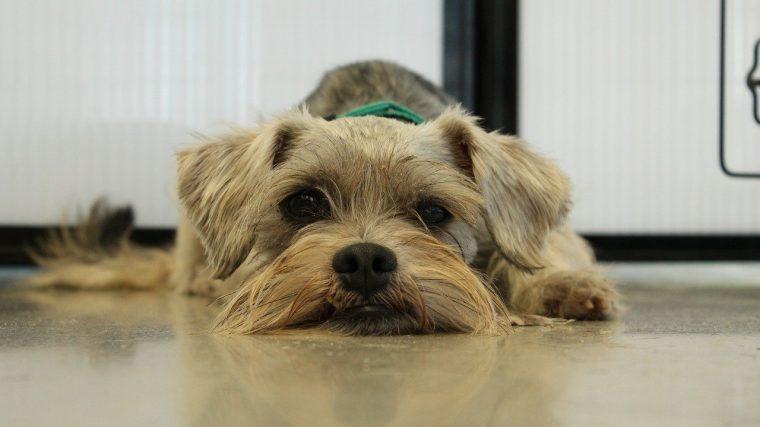 犬の胆泥症は、胆のうにどろっとした液体が貯まっている状態