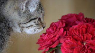 【猫で中毒を起こす観葉植物】ユリだけではない!危険な有毒植物と症状、対処法を解説!
