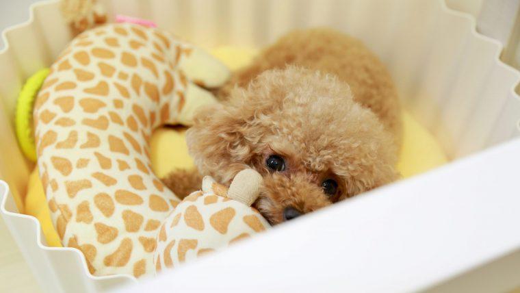 4か月齢までの子犬は低血糖になりやすい