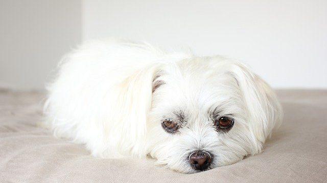 子犬の低血糖の症状は、フラフラからぐったりまで多様