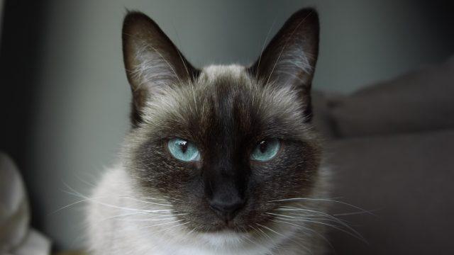 【猫の肥大型心筋症】症状や治療法、自宅でのケアなどを獣医師が解説
