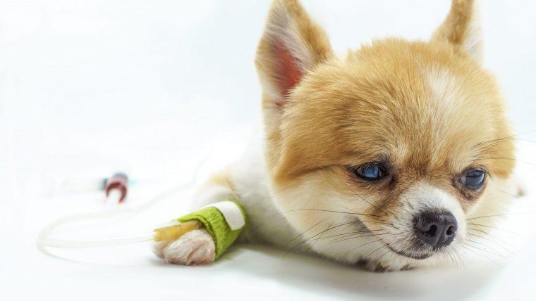 犬の免疫介在性血小板減少症の診断~検査内容と数値