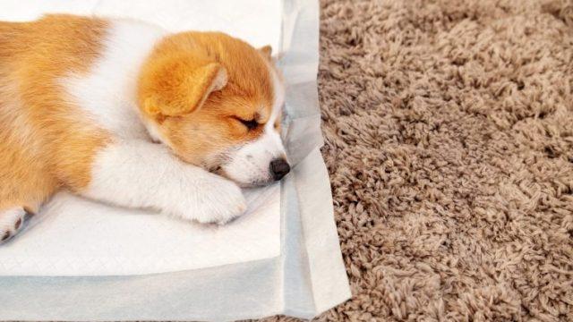 犬がペットシーツを食べた時の対処法【動物病院に行くタイミングとは】