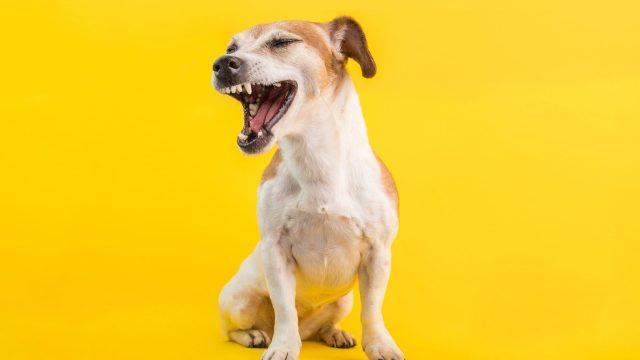 【犬のくしゃみの7つの原因】風邪?寒さやわざとする時も!【自宅でできる対処法】