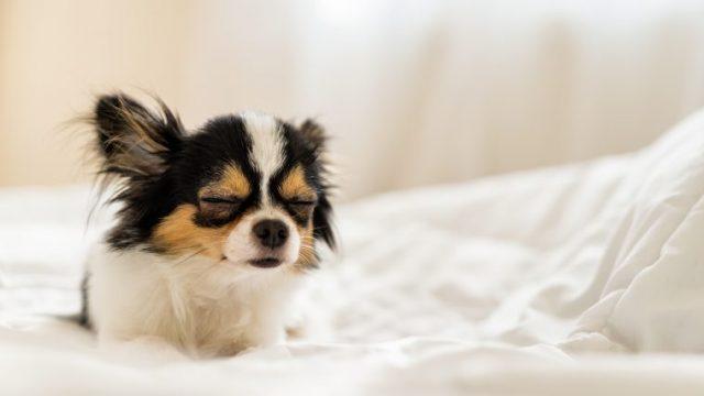 【犬の低血糖症】震えの症状あり!原因と予防、手術例を獣医師が解説!