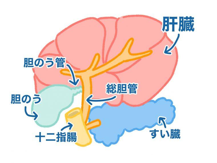犬の胆石症は、胆のうに石ができてしまう病気