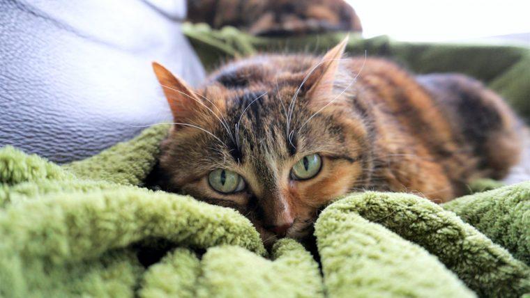 猫のウールサッキングとは?