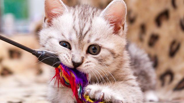 猫の去勢手術は何歳までにするべきか