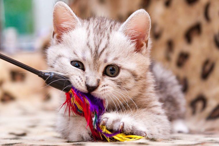 子猫のウールサッキングは異常でないことも