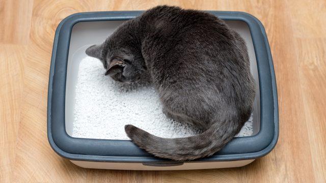 【猫の血便】元気はある?下痢や嘔吐、ゼリー状のものが出る場合の原因と対策!