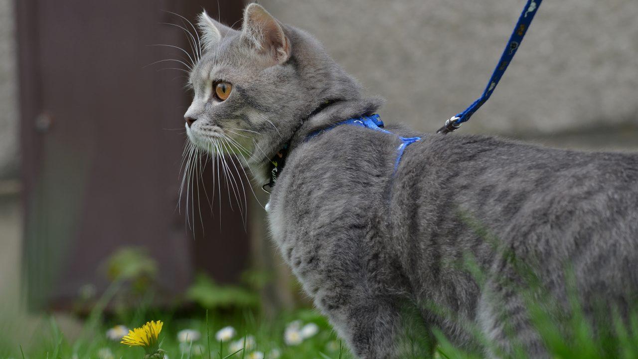 猫に散歩は必要?メリット・デメリットも解説