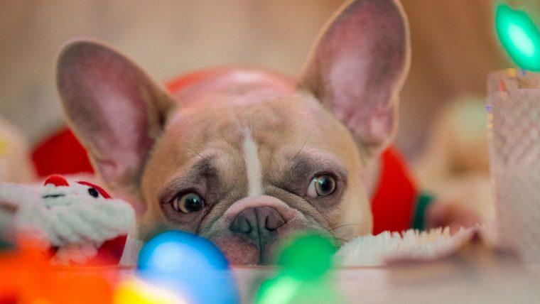 犬の短頭種気道症候群とは?呼吸がしづらいことが問題