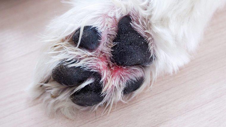 犬の趾間炎は指の間の炎症