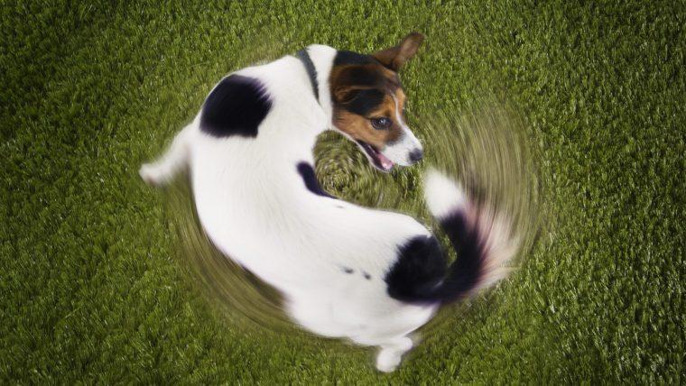犬がしっぽを噛む原因は「遊び+ストレス」