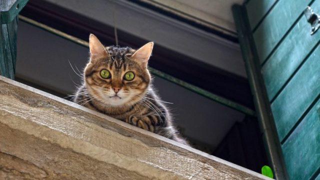 【猫の高所落下症候群】フライングキャットシンドローム、ハイライズシンドローム