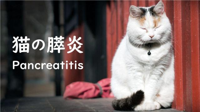 【猫の急性/慢性膵炎】原因や症状、治療期間などを獣医師が解説!
