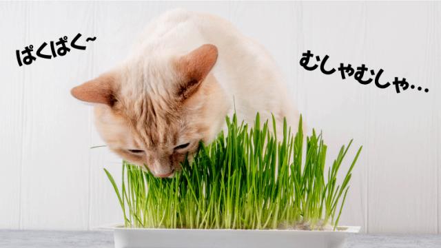 【猫草とは?必要?】猫が吐くときに食べる猫草の効果とは!?【いつからあげるべき?】