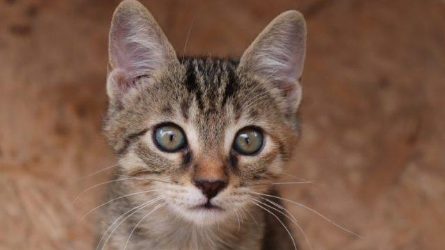 猫の耳掃除は必要?頻度や嫌がるときの対処法【黒いカスが出るときは病院へ!】