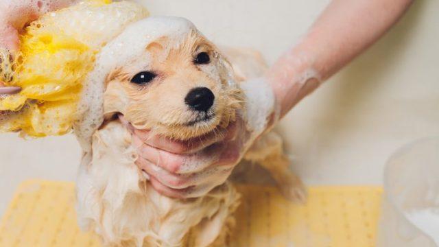 【犬の目がしょぼしょぼ】トリミング後に目が開かないときの原因と対処法